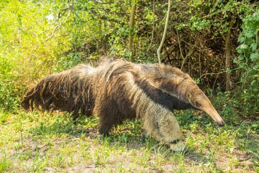 El oso hormiguero está más amenazado de lo que parece