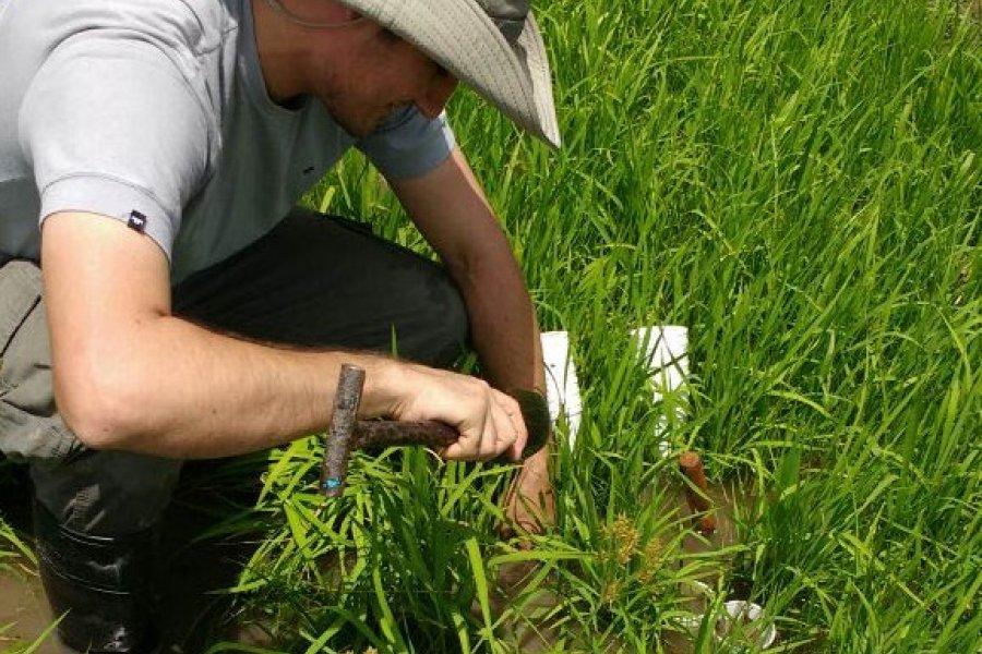 Estudian el comportamiento de una maleza que afecta el cultivo de arroz