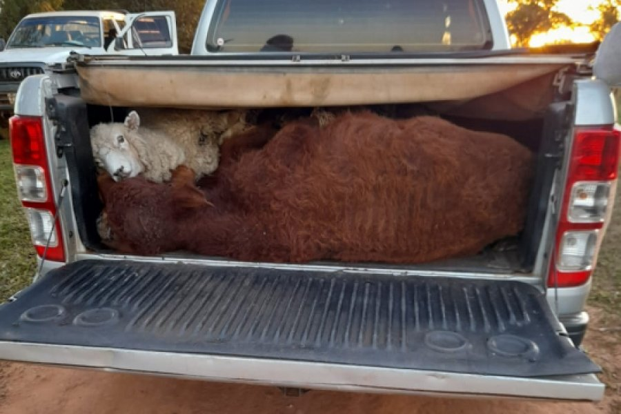 Una familia detenida llevando tres terneros y una oveja en una camioneta