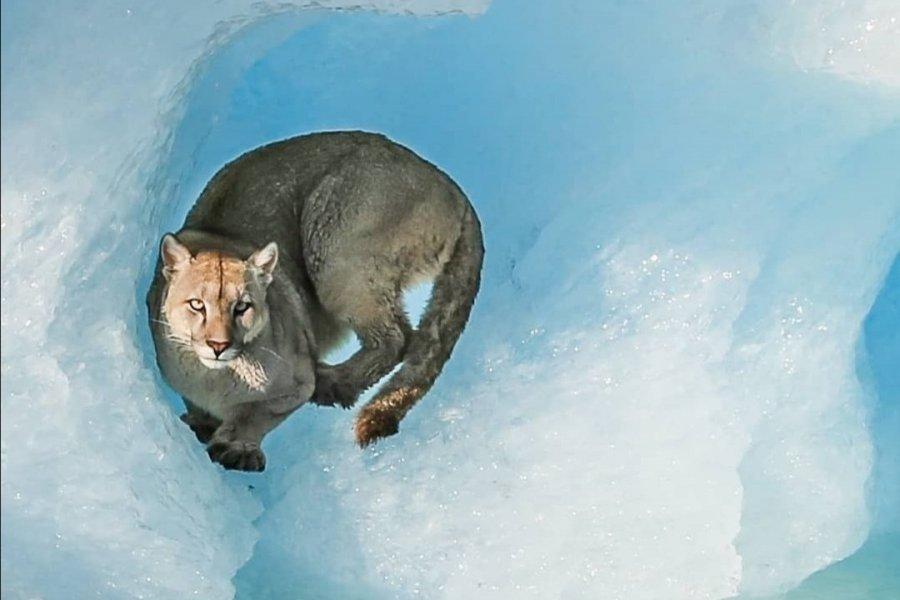 Avistaron un ejemplar de puma sobre un témpano del Glaciar Upsala en Santa Cruz