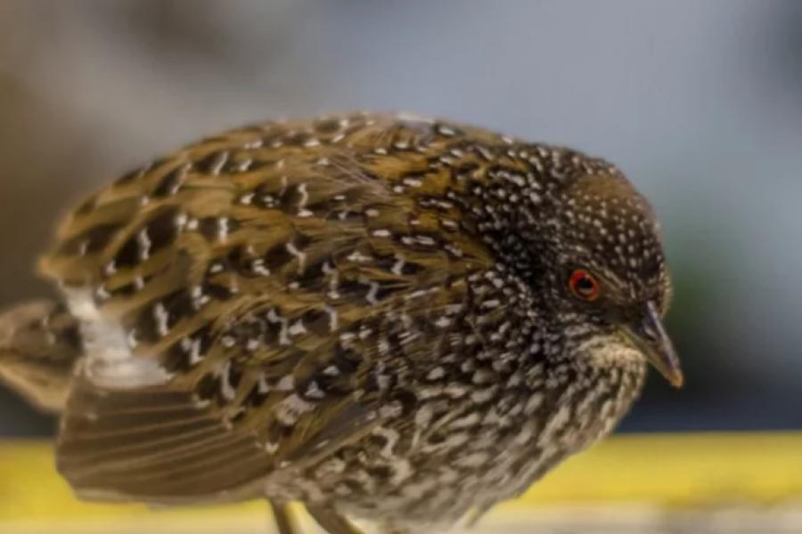Buscan rastros de una rara ave para conocer su canto y sus hábitos