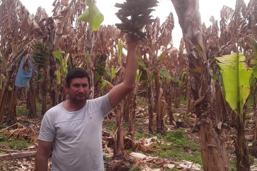 Las heladas arrasaron su plantación de bananas y pide ayuda