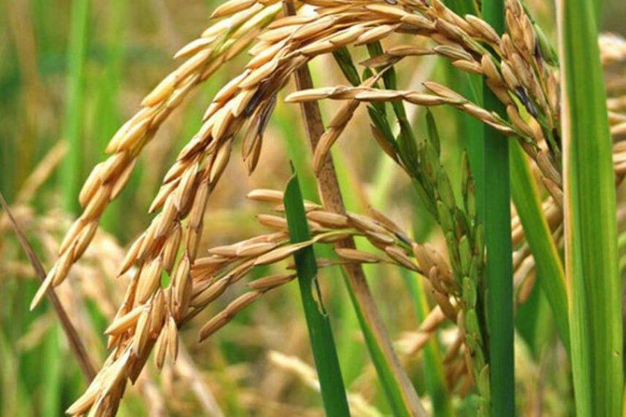 Liderada por Corrientes, la producción de arroz aumentó 20% en Argentina