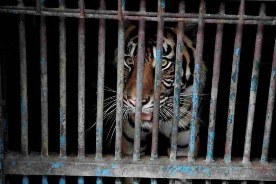 Dos tigres de Sumatra se contagiaron coronavirus en un zoológico de Indonesia