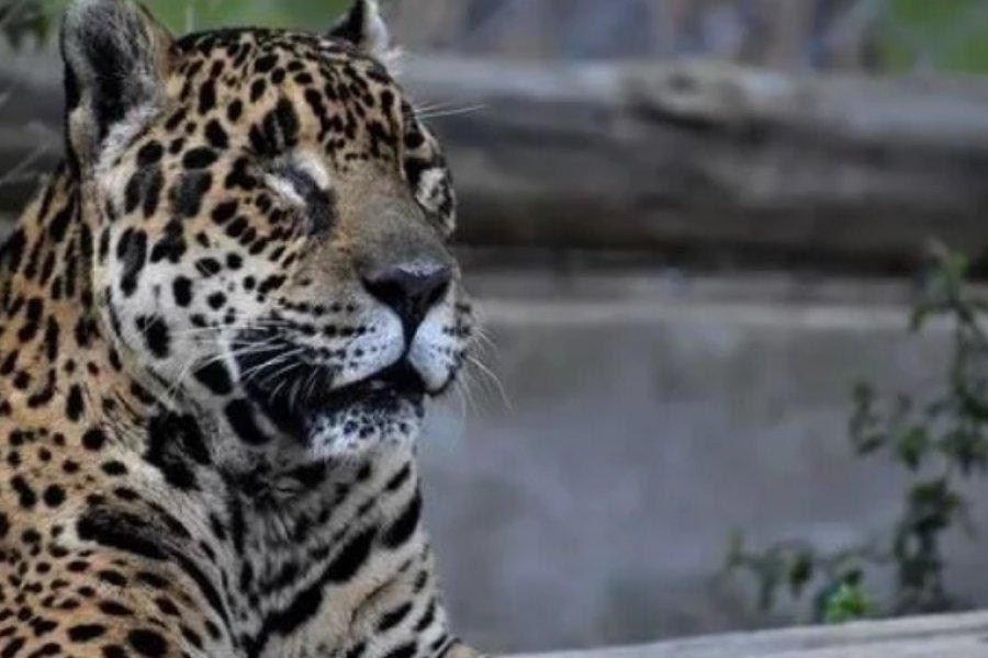 Quedó ciega la yaguareté emblema del Iberá