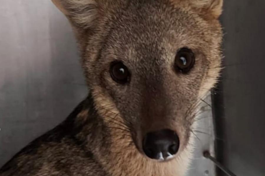 Rescataron y liberaron a un zorro de monte que había sido atropellado en Corrientes