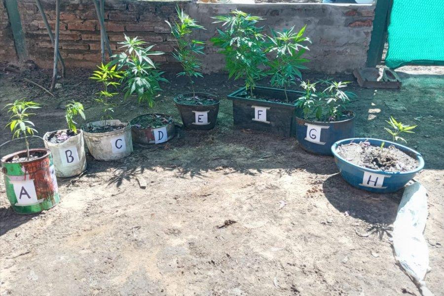 Policías encontraron plantas de marihuana en medio de un allanamiento