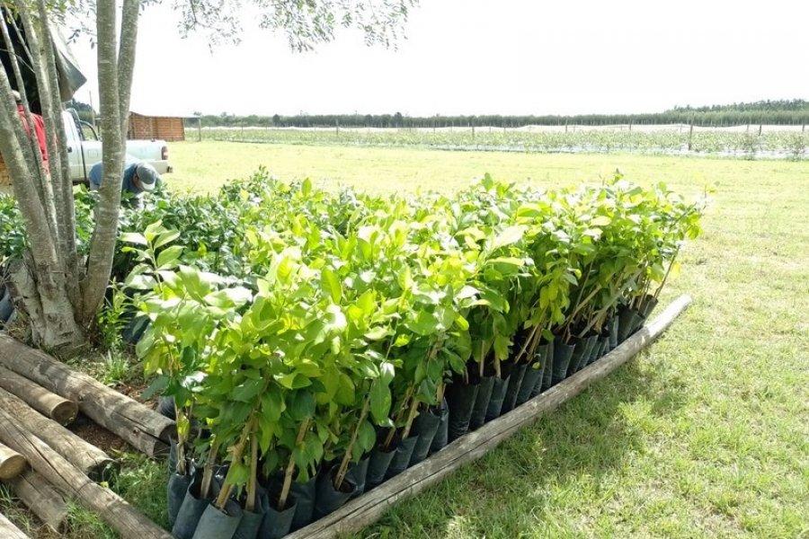 Plan Limón: En Chavarría y Tabay continuó la distribución de plantas a pequeños productores beneficiarios