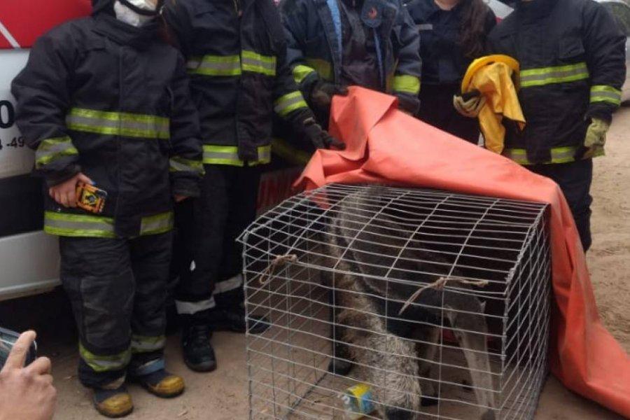Rescataron un oso hormiguero gigante que estaba en cautiverio