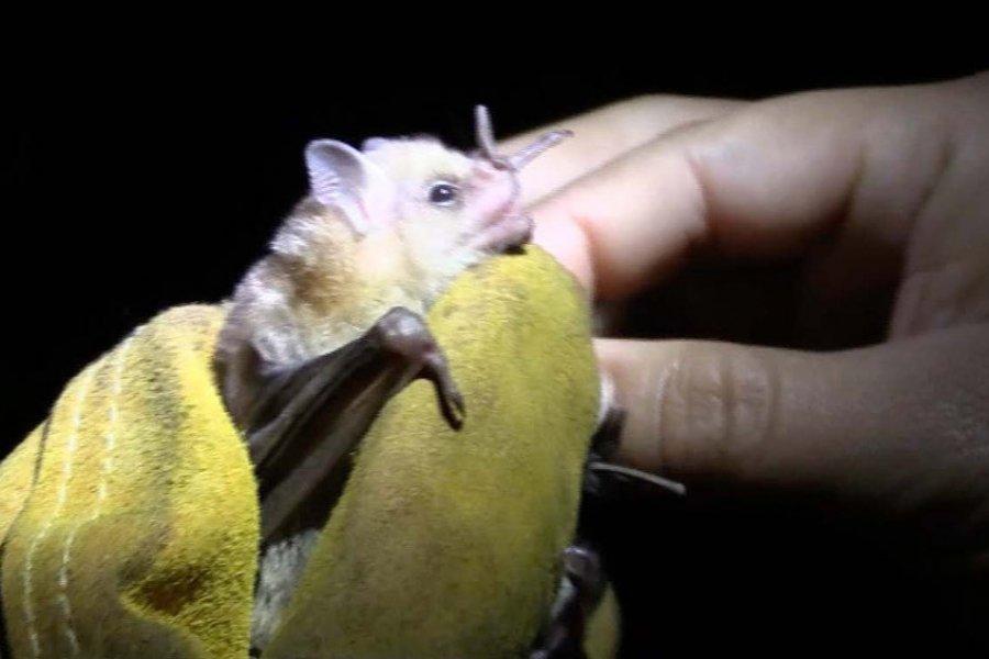 Descubrieron un virus muy similar al del coronavirus en murciélagos de Laos