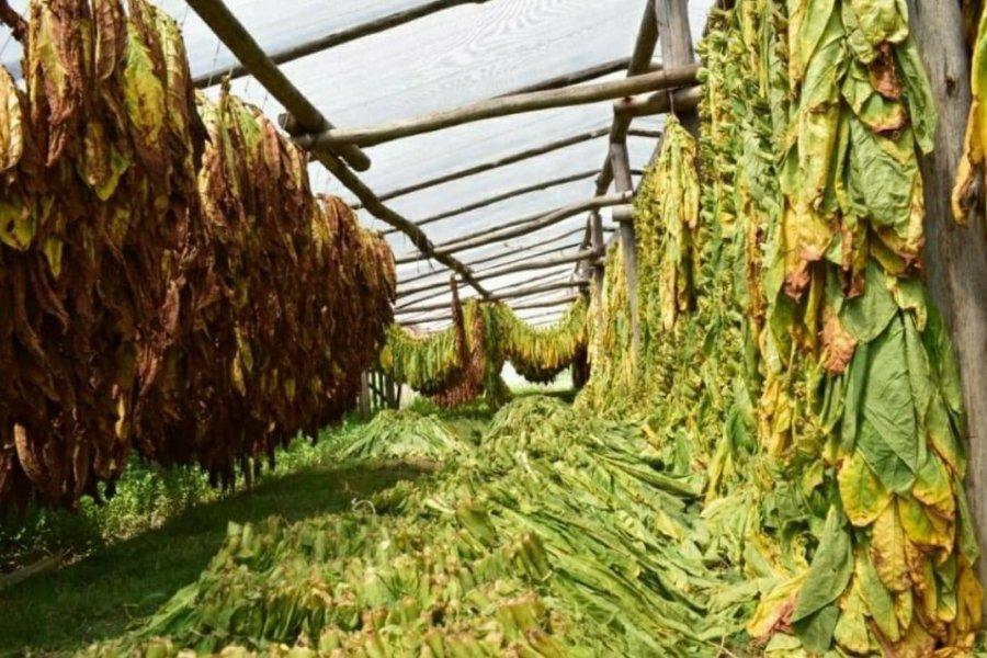 Corrientes logró destrabar los fondos de los tabacaleros