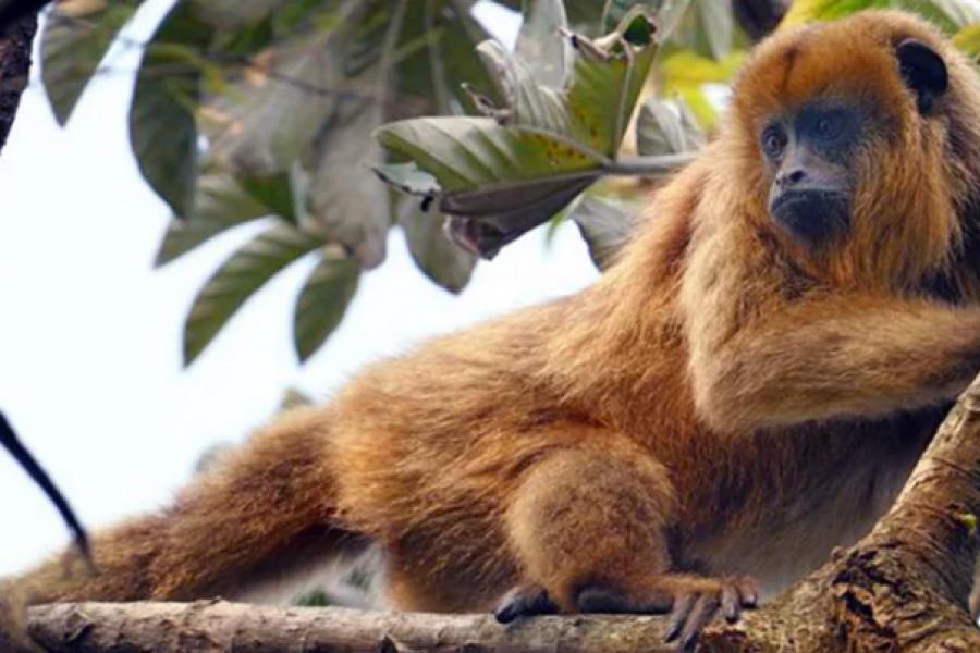 Convocan a movilizarse para que el Mono Carayá sea Monumento Natural de Corrientes