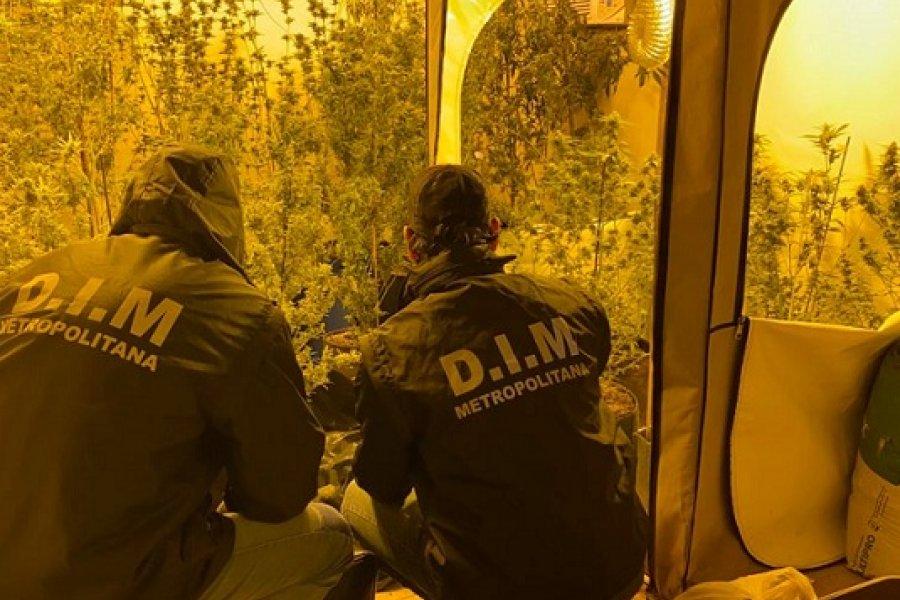 Invernadero de marihuana: Fue descubierto tras buscar pistas de un femicidio