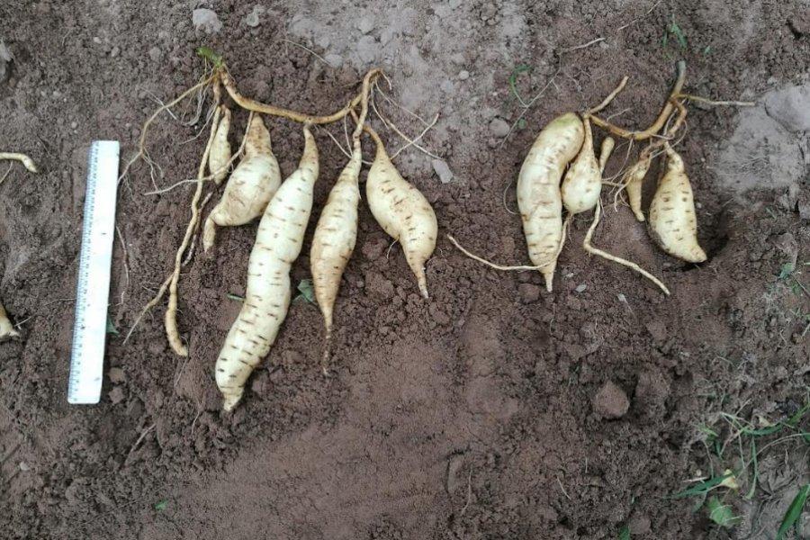 Mejoran rendimiento en cultivos de batata con manejo tecnificado