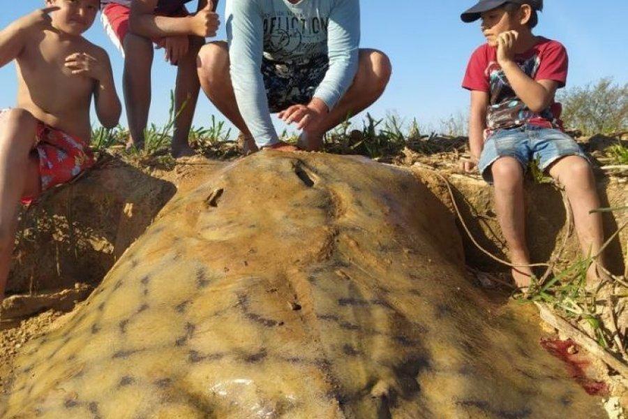 Pescan y devuelven una raya gigante en el río Paraná