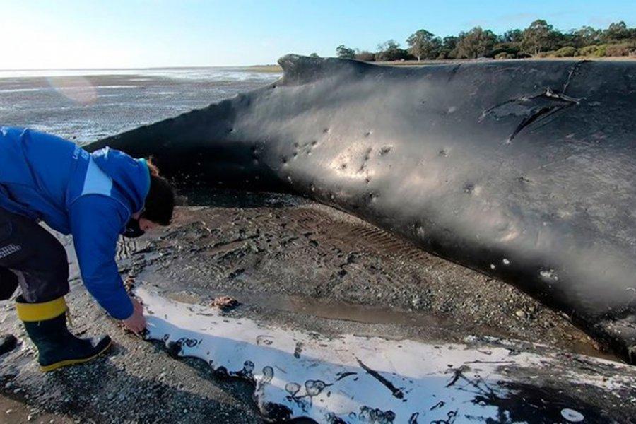 Un ejemplar de ballena yubarta murió varado y piden a la población que no se acerque