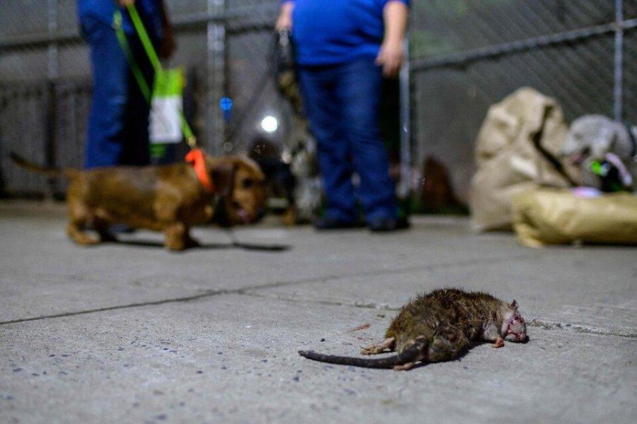 Nueva York, afectada por un brote de leptospirosis, una enfermedad relacionada con las ratas