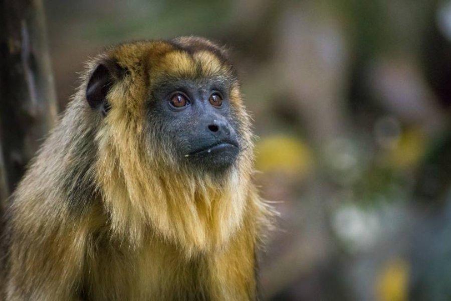 Rescatan mono carayá en el barrio Sapucay