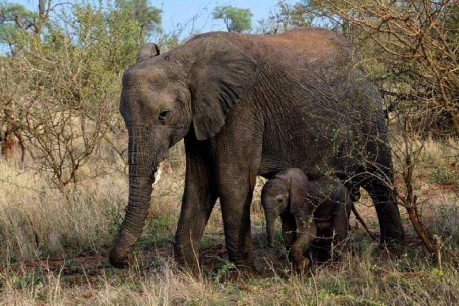 Un elefante mató a un cazador furtivo en un parque nacional